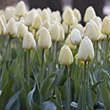 Van Zyverden Tulips Ivory Floradale Set of 12 Bulbs