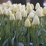 Van Zyverden Tulips Ivory Floradale Set of 12 Bulbs