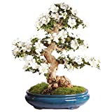 Brussel's Bonsai ST2317SA-H Azalea Specimen Bonsai