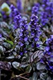 NEW! 30+ AJUGA REPTANS FLOWER SEEDS / PERENNIAL / DEER RESISTANT GROUND COVER