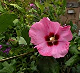 Hibiscus syriacus 'Aphrodite' (2 feet tall in trade gallon containers) Pink and Red trumpet blooms