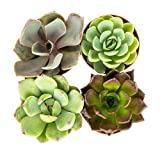 Rosette Succulent Plants | 4 Live Echeveria in Planter Pots | Fully Rooted Premium Five Star Plants | Nautical Crush Trading