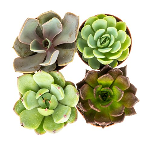 Rosette Succulent Plants | 4 Live Echeveria in Planter Pots | Fully Rooted Premium Five Star Plants | Nautical Crush Trading by Nautical Crush Trading