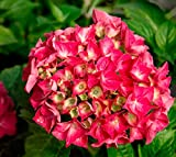Red Sensation Next Generation Hydrangea - Live Plant - Quart Pot