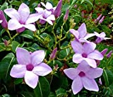 Cryptostegia Grandiflora, Rare Rubber Vine Purple Allamanda Flower Seed 45 Seeds TkExotic