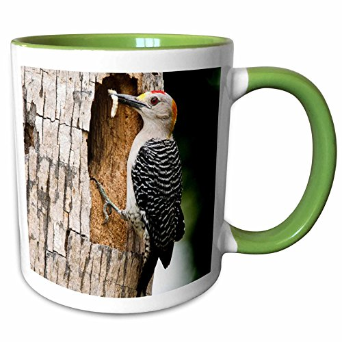 3dRose Danita Delimont - Birds - Golden-fronted Woodpecker bird, McAllen, Texas, USA - US44 LDI0661 - Larry Ditto - 11oz Two-Tone Green Mug - Mcallen Outlets