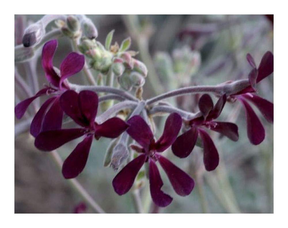 Pelargonium sidoides - Geranium - 2 Seeds Exotic Plants