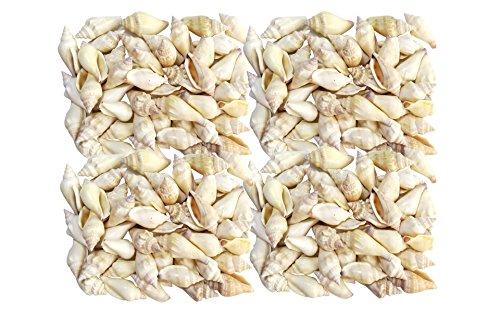 Quality Selected Seashells - Approx 200 pcs shells – Mutable Conch (White) / Strombus Mutablis for Seashell Vases, Seashell Boxes, Seashell Frames, Seashell Jewelry Making & Mini Garden Miniture