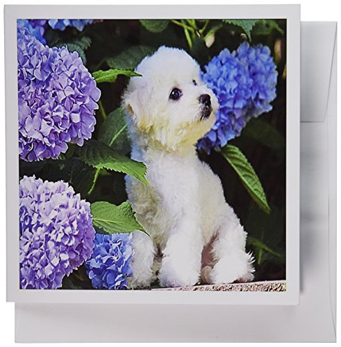 Bichon Frise Greeting Card - 3dRose Adorable Bichon Frise Puppy Among Hydrangeas - Greeting Cards, 6 x 6 inches, set of 6 (gc_80886_1)