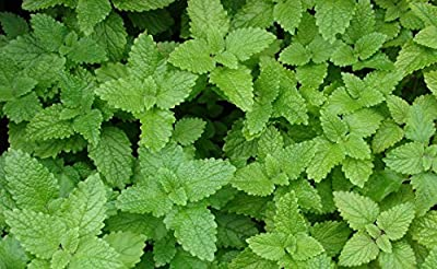 300+ Lemon Balm Seeds by Ohio Heirloom Seeds