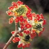 Akebono Red Edgeworthia Paper Bush - Live Plant - Starter Plug (LG)