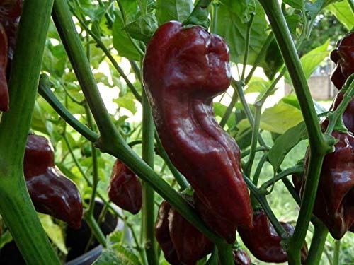 10 Hot Pepper Seeds Devil's Tongue Chocolate