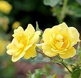 4.5 in. qt. Oso Easy Lemon Zest Landscape Rose