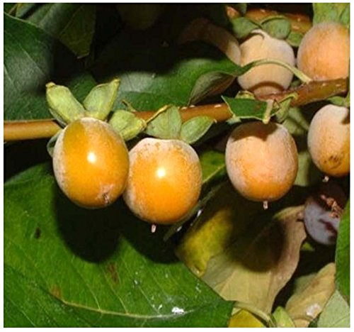 4 Packs x 20 Date Plum Persimmon, Diospyros lotus, Tree Seeds - Fragrant Flowers - Very COLD HARDY - ZONES 6-10 - By MySeeds.Co (Best Plants For Zone 7)