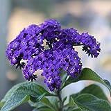Heliotrope Flower Garden Seeds - Marine - 100 Seeds - Non-GMO, Perennial Flower Gardening