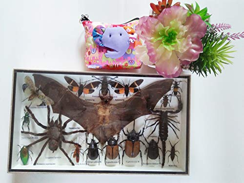 Real Rare Set Mix Insect Insects Box Display Taxidermy Framed Hairless Horseshoe Bat Jewel Beetle Spider Cicada Xylotrures Horns Collection Entomology Home Decor Art Gift Bug Bugs Glass Wood Wooden ()