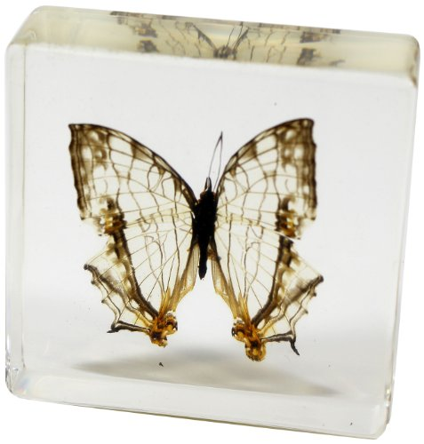 Common  Mapwing Butterfly Paperweight(3x3x1
