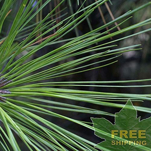 Loblolly Pine Pinus Taeda - 20 Seeds by Parahita Store - Loblolly Pine Trees