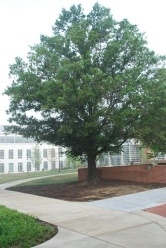 (Quercus laurifolia LAUREL OAK TREE Seeds!)