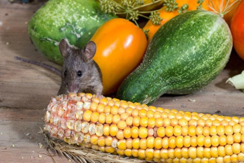 Gifts Delight Laminated 36x24 inches Poster: Mouse Wild Corn Nager Animal Portrait Vegetables