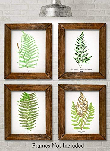 Antique Fern Botanical Prints - Set of Four Photos (8x10) Unframed - Makes a Great Gift Under $20 for Nature Lovers
