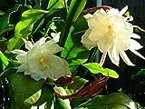 2 pcs Cuttings White Orchid Cactus Epiphyllum Oxypetalum