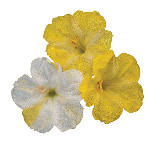 Trumpet Sweep - Burpee Marbles Yellow & White Four O'Clock Seeds 35 seeds