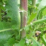 Wild Lettuce Seeds (Lactuca virosa) 50+ Rare