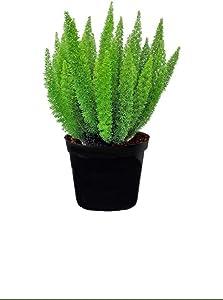 "AMERICAN PLANT EXCHANGE Foxtail Fern Live Plant, 6"" Pot, Indoor/Outdoor Air Purifier"