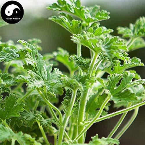 100pcs: Buy Pelargonium graveolens Seeds Plant herb Insect Repellent Grass by SVI (Image #4)
