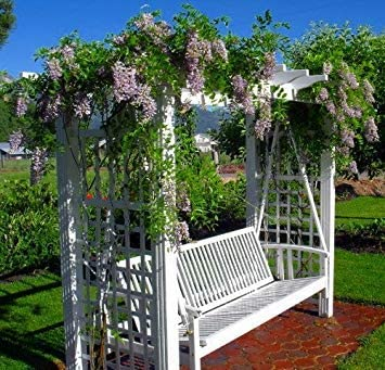 GEOPONICS SEEDS - Moon Wisteria - Potted - Huge Fragrant Blooms ...