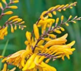 (2) George Davidson Spectacular Yellow Crocosmia Lily Blooming Size Bulbs for Beautiful Flowers in Your Garden - clarence