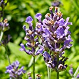 "500 Seeds, Lavender ""Munstead"" (Lavandula angustifolia) Seeds By Seed Needs"