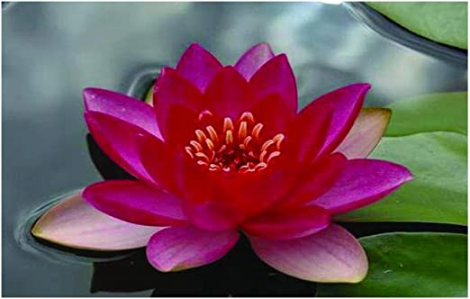 aquatic plants Liou water lily water lilies pond plants