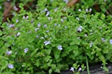 Burger Creeping Mint Charlie Live Aquarium Plants (Micromeria brownei)
