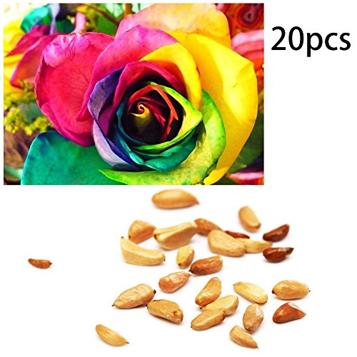 C-Pioneer 20pcs Rare Rainbow Rose Shrub Bush Hardy Perennial Flower Seeds Home Garden Pot (Perennials For Pots)
