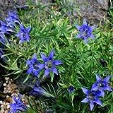 Outsidepride Blue Herald Gentian Flower Seed - 100 Seeds