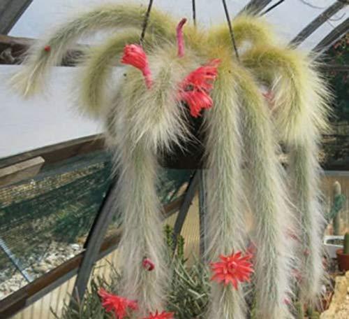 10 Seeds Cactus Cleistocactus Mix