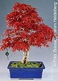 Tropica - bonsaï - érable du Japon rouge (Acer palmatum atropurpureum) - 20 graines