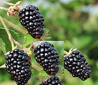 Blackberry Prime Ark Freedom - Thornless, LIVE Potted plant, Primocane, Rubus