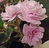 LovelyGarden African Violet Cajun's Roses Anyone Pair of Leaves