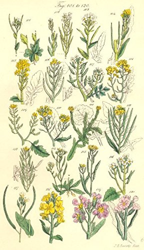 cress-mustard-rocket-rock-winter-water-marsh-thale-hedge-treacle-sowerby1890