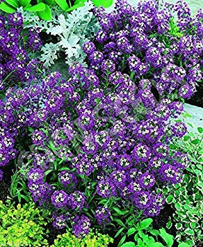 (3000 Sweet Alyssum Seeds-(Royal Carpet) Attracts beneficial insects - Perennial)
