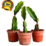 Plant Dragon Fruit Garden Outdoor Flowers Easy to Grow 4 Pound (Pack of 3) NEW