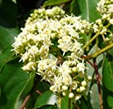 Hovenia Dulcis -Japanese Raisin Tree - Tree Seeds (20)