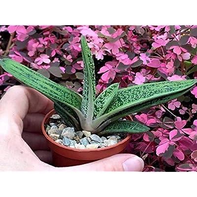 Cheap 2 Inch Succulent Plant Gasteria Little Warty Easy Grow #RGR01YN : Garden & Outdoor