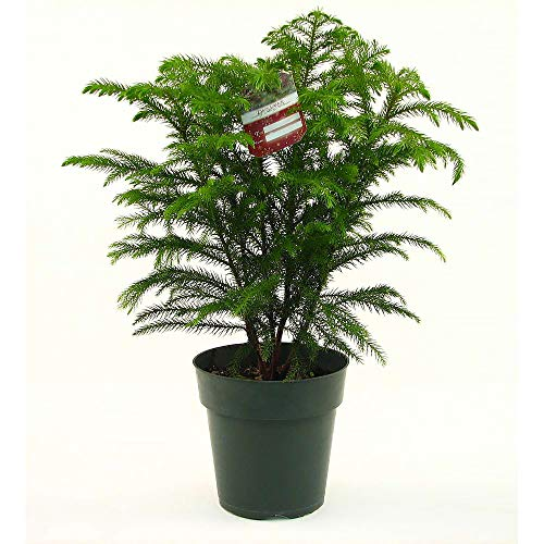AMERICAN PLANT EXCHANGE Norfolk Island Pine Mini Christmas Tree Live Plant, 1 Gallon, Indoor Air Purifier