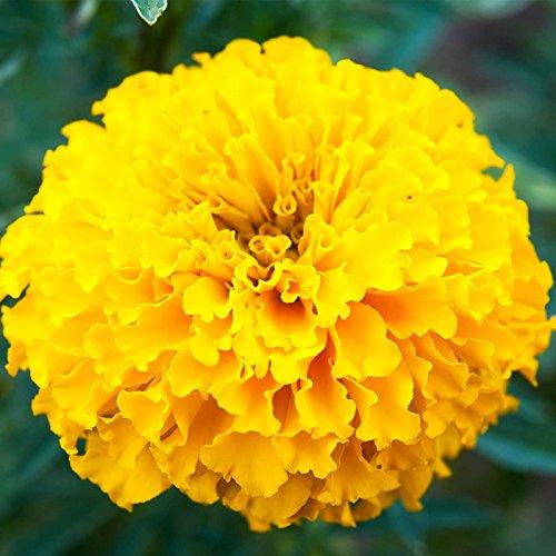Crush Papaya - African Marigold Flower Garden Seeds - Crush Series F1 - Papaya Gold - 100 Seeds - Annual Flower Gardening Seeds - Tagetes erecta