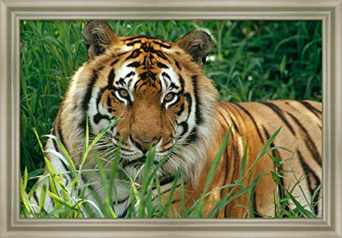 - Framed Canvas Wall Art Print | Home Wall Decor Canvas Art | Bengal Tiger Portrait at The Hilo Zoo, Hawaii, Native to India and Southeast Asia by Gerry Ellis | Modern Decor | Stretched Canvas Prints