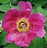 Banatica Rose Peony 4 Seeds - Paeonia - Perennial